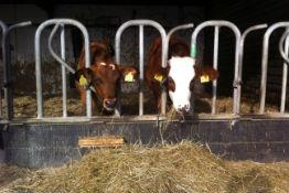 Koeien Vee Klompenhoeve